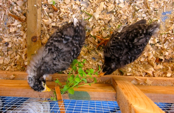 The turning point seemed to be when they began to eat the chickweed. Now whenever I come to the brooder cage and speak to them, they run to the clothes pin, where I clip the weed. They pull and tug. Still scruffy looking but getting rounder every day.